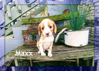 Maxx: Male Cavalier Mix (Full Price $700.00) Deposit