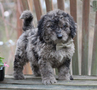 Merle male mini Goldendoodle for sale