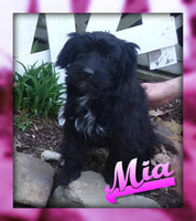 Mia: Female Aussie Mini (Full Price $350) Deposit