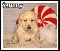 Sammy Male Mini Labradoodle $1850