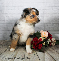 Robin Male Mini Australian Shepherd $1800