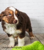 Ranger Male Mini Australian Shepherd $1600