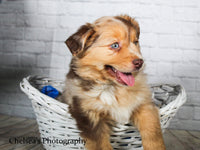 Red Male Mini Australian Shepherd $1600