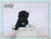 Judy Female Mini Bernedoodle $1800