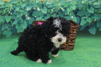 Grace Female Mini Bernedoodle $3300