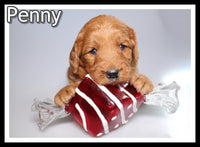 Penny Female Mini Goldendoodle $2600