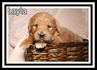 Layla Female Mini Goldendoodle $2600