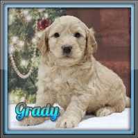 Grady Male Mini Goldendoodle $3000