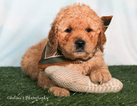 Ralf Male Mini Goldendoodle $2500