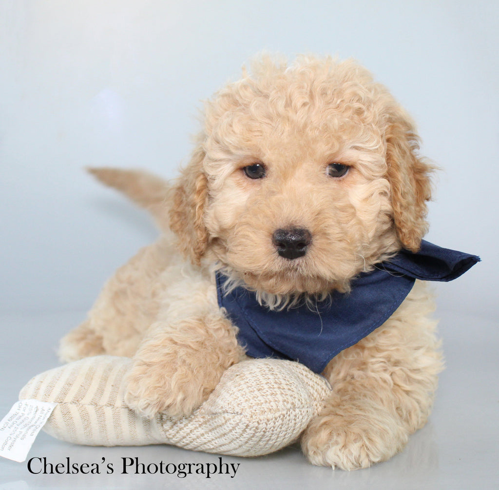 Norton Male F1B Mini Goldendoodle $1400