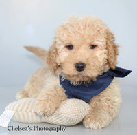 Red Rover Male Mini Goldendoodle $2500