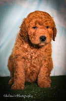 Randy Male Mini Goldendoodle $2500