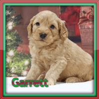 Garrett Male Mini Goldendoodle $3000