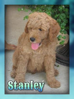 Stanley Male F1B Mini Goldendoodle $2500