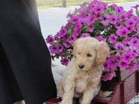 Mini Goldendoodle Puppy in Ohio