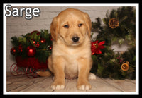 Sarge Male Mini Labradoodle $1850