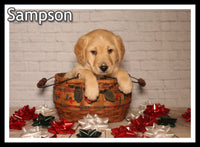 Sampson Male Mini Labradoodle $1850