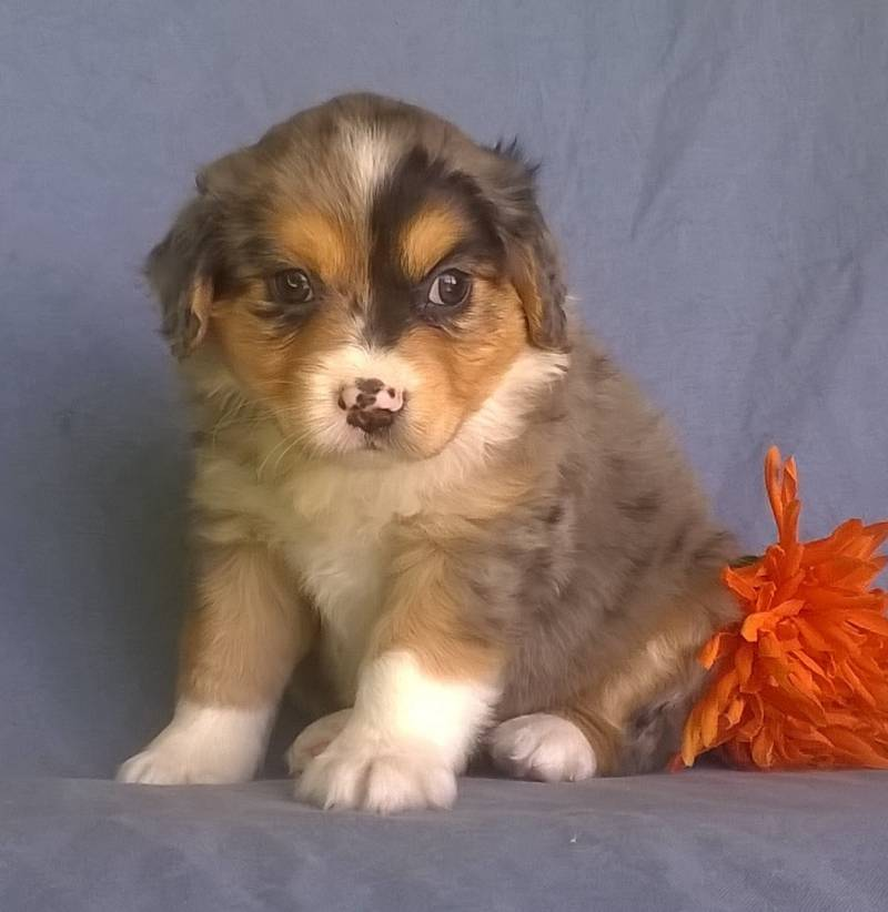 Aussipoo Puppies For Sale That Doggy In The Window That Doggy In