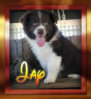 Jay Male Aussie Mini Mix $350