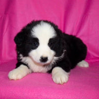 Stella female Miniature Australian Shepherd $599
