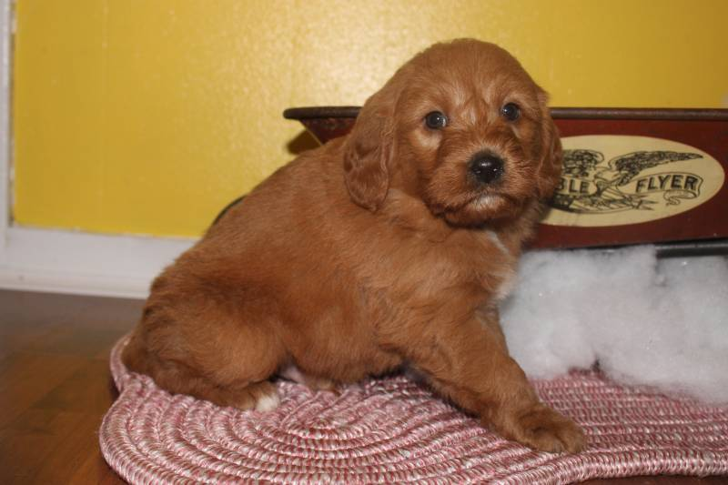 Mini Labradoodle Puppies For Sale That Doggy In The