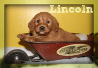 Lincoln Male Mini Labradoodle $900