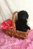 Miniature Poodles for sale in PA