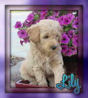 mini goldendoodle for sale near me