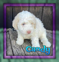 Candy Male Mini Labradoodle $2600