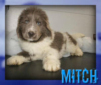 Mitch Male AKC Newfoundland $550
