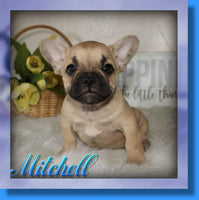 Mitchell AKC Male French Bulldog $2100