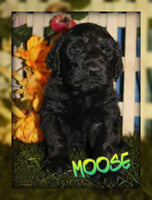 Moose: Male Goldendoodle (Full Price $850) Deposit