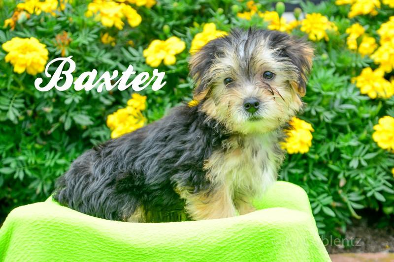 Morkie Puppy for sale in Pittsburgh