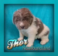 Thor: Male AKC Newfoundland (Full Price $1200.00 pet /1500.00breeding) Deposit
