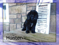Hunter: Male Newfypoo Puppy (Full Price $1000.00) Deposit