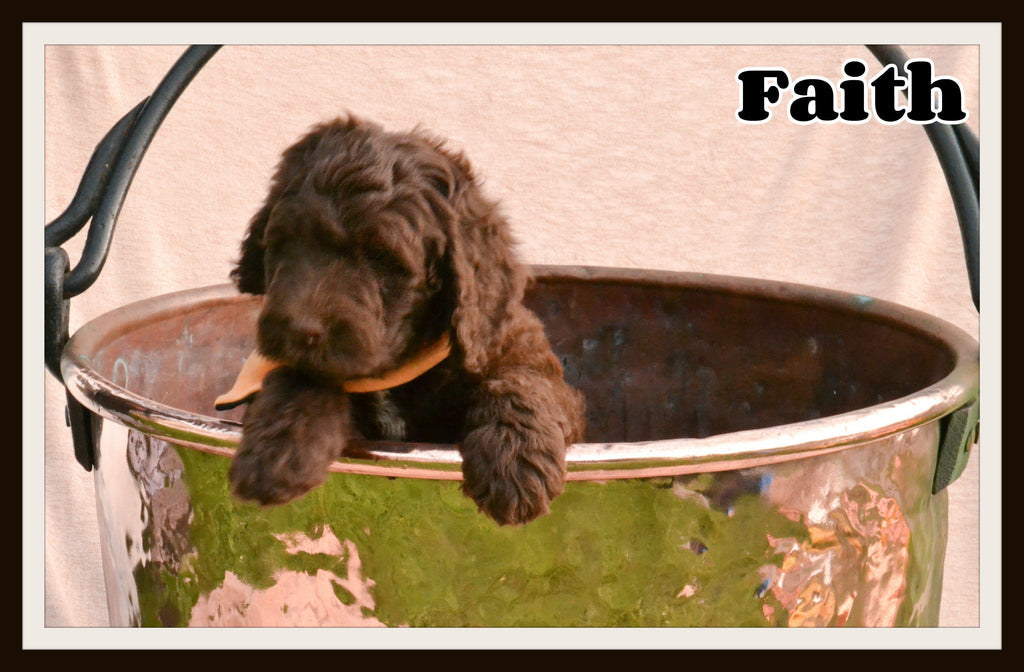 Faith Female Newfypoo $1800