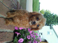 Nick: Male Cavapoo (Full Price $1695.00) Deposit
