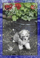 Ty: Male Havanese  (Full Price $975.00) Deposit
