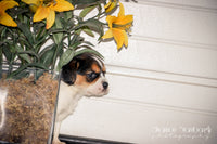 Oreo: Female Beaglier (Full Price $775.00) Deposit