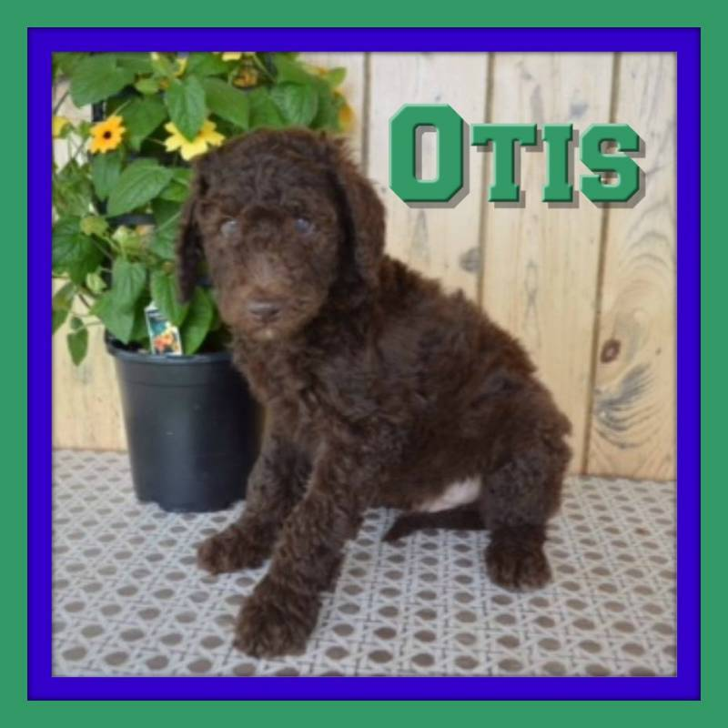 Male Labradoodle for sale near me