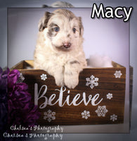 Macy Female Mini Borderdoodle $2500