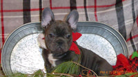 Sarah Female AKC French Bulldog $4400