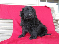 Stanley Male Goldendoodle $450