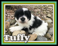 Tuffy Male Pomachon $800
