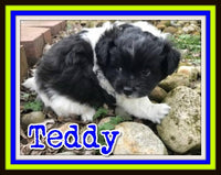 Teddy Male Pomachon $800