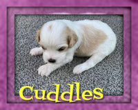cavalier king charles mix near me for sale
