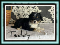 Teddy Male Mini Aussiepoo $1700