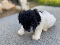 poodle puppies for sale near me