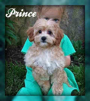Prince: Male Mini Poodle (Full Price $600.00) Deposit