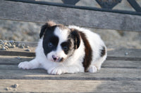 Toby ICA Male Papillon $950